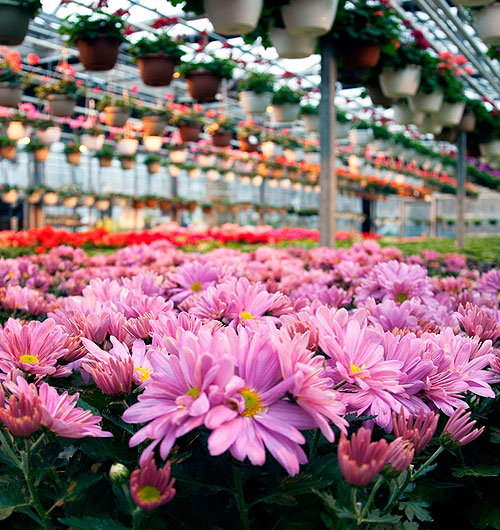 Pink fall mums in the greenhouse